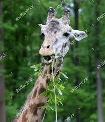 giraffe eats leaves Turtle Back Zoo after Editorial Stock Photo - Stock  Image | Shutterstock