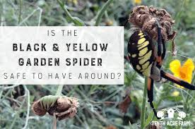 is the black and yellow garden spider