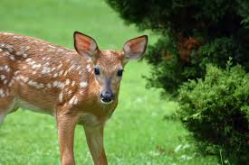 How To Keep Deer Out Of Your Garden Repelling Deer From Flowers