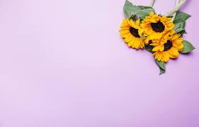 wallpaper flowers sunflower pink