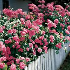 Tips For Choosing The Right Hedge Rose Varieties