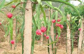 火龙果什么时候种植?-知百科种植网
