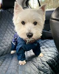 587 Best My Lilly Love, and other Westies images in 2020 | Westies, West  highland terrier, White terrier