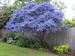ceanothus spring flowering evergreen