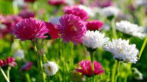 صور ورد Hd احلي الوان ورد باقات زهور جميلة 14 سوبر كايرو