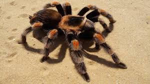 La mygale mexicaine, une araignée très attrayante | Mygale ...