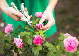 15 tips to make your roses bloom more