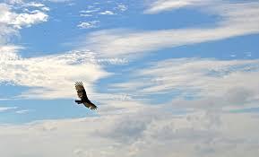 Banco de imagens : céu, condor, pássaro, vôo, Cuba, nuvens, Ave de ...