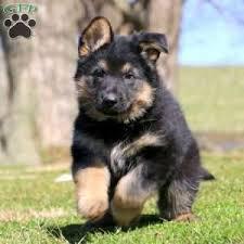 german shepherd puppies gsd