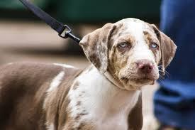 vigo in dogs symptoms causes