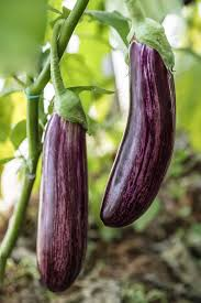 how to grow eggplant get passionate