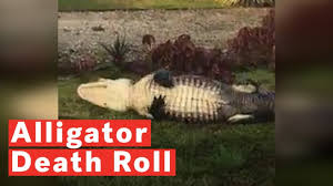 Huge Alligator Caught On Camera Climbing Over Fence At Florida Navy Base They Don T Respect Our Security Measures