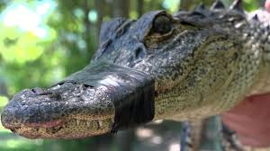 Mating Season Brings Out Aggressive Alligators Across Florida
