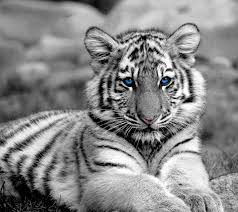 baby white tiger wallpapers top free