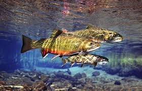 brown trout and brook trout