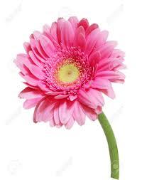 Fleur De Gerbera Rose Unique Isolée Sur Blanc Banque D'Images Et ...