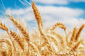Cebada, interesante alternativa de diversificación al trigo - EL ...