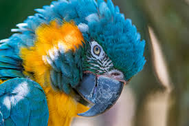 wallpaper blue and yellow macaw 5k hd