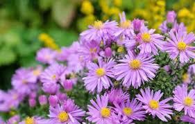pesan yang dapat disampaikan melalui bunga aster outerbloom