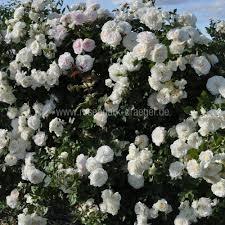 alaska rosenpark draeger
