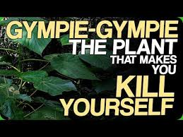 gympie gympie the plant that makes