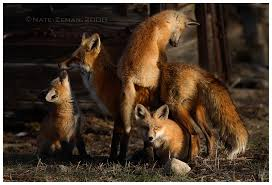fox family fox photo 10120320 fanpop