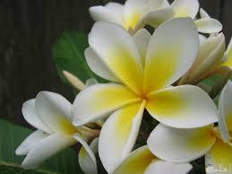صور زهور ياسمين