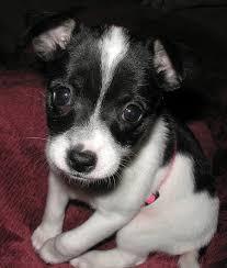 find toy fox terrier puppies