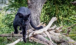 Caso pantera: non è stato il felino a sgozzare la capra in agro di ...