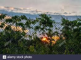 Wire Mesh Fence With Climbing Plant Hop Branches Silhouettes On Blurred Background Of Colorful Sunset Sky Mesh Pattern With Cloudscape Backdrop Stock Photo Alamy