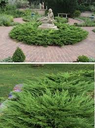 monna juniper 1 gallon shrub