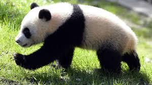 panda bear wallpaper youbioit