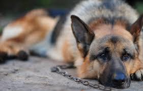 Coronavirus nel cane: sintomi, incubazione, terapia e vaccino