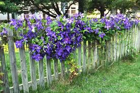 Clematis On A Picket Fence Would Be Pretty Along Our Back Section Charming Garden Garden Gates And Fencing Garden Yard Ideas