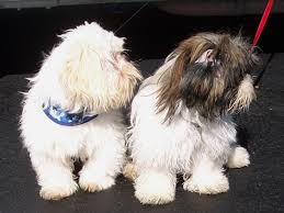 texas shih tzu puppies texas