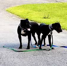 Pin By Dogwatch Of Upstate Ny Llc On Dogwatch Customers Pitbull Mix Dog Fence Your Dog