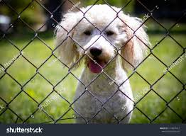 Miniature Goldendoodle Watches Behind Chain Link Stock Photo Edit Now 1418947412