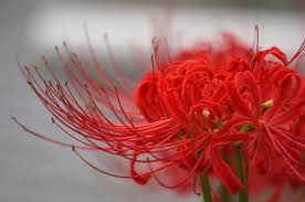 red spider lily selective focus photo