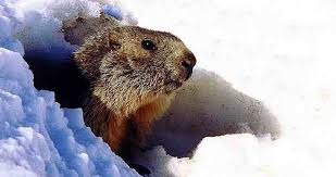 Image result for Wiarton willie