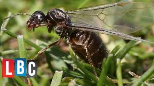 Get Does Queen Ants Have Wings Images