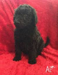 puppy standard poodle in basin