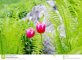 Two Pink Tulips And Green Fern On Gray Stone Background Stock Photo - Image  of fern, background: 65408932