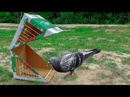 pigeon bird trap with cardboard box
