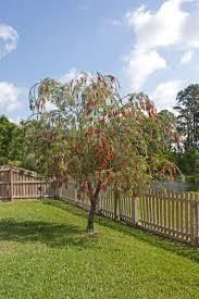 File Red Bottlebrush Tree In Florida Jpg Wikimedia Commons