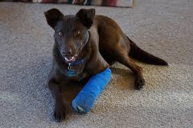 casting and splinting in dogs