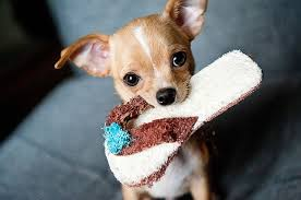 chihuahua dog cost pricing breeders