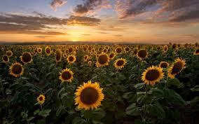 sunflowers in denver colorado