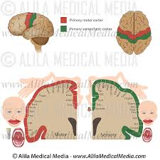 motor and sensory somatotopy of the