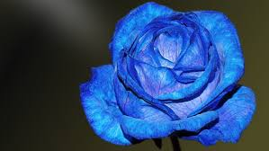 beberapa arti bunga mawar biru yang bisa mewakili perasaan kamu
