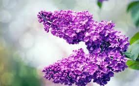 تحميل خلفيات أرجواني الأرجواني الزهور في الربيع أرجواني فرع
